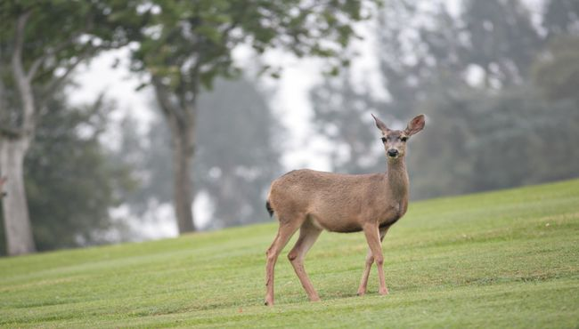 A deer stands on a green garden at Rose Hills Memorial Park in Whittier, CA.